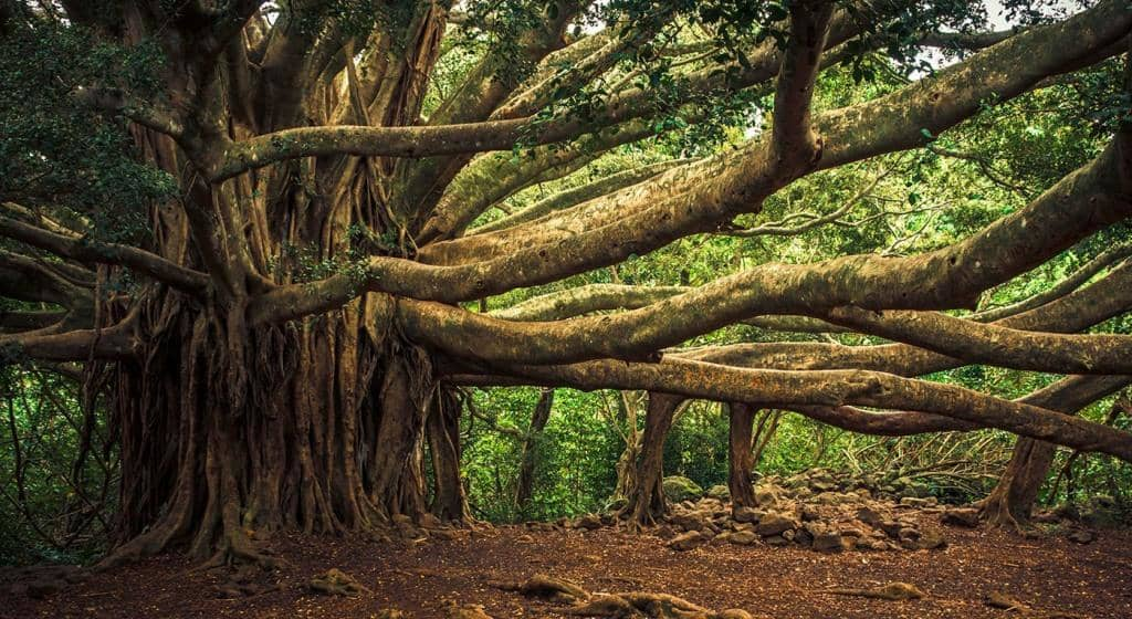 Banyan tree which gives more oxygen